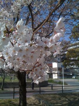 2012-0408 桜