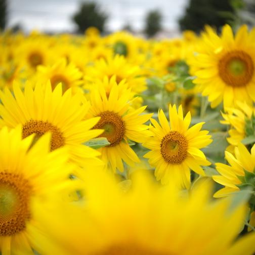 花ロードえにわのひまわり畑