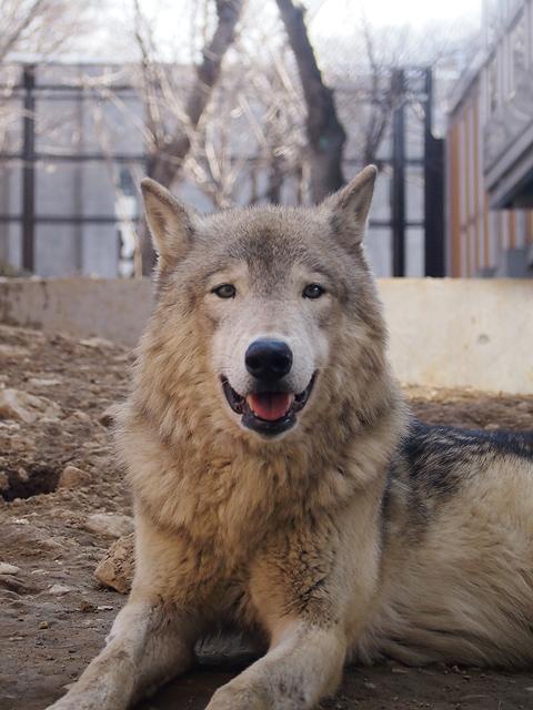 昼間のシンリンオオカミ