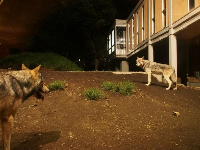 夜のシンリンオオカミ