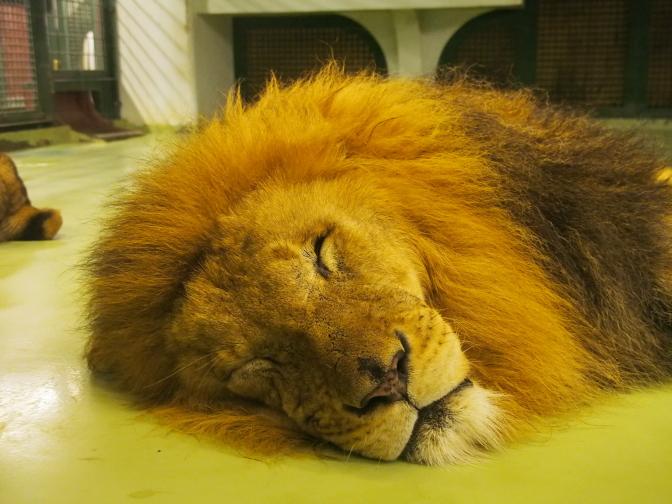 ぐうたらなライオン