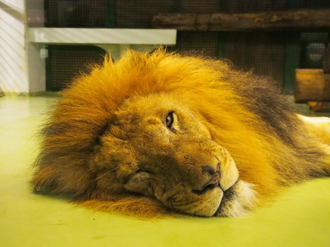 ぐうたら?なライオン