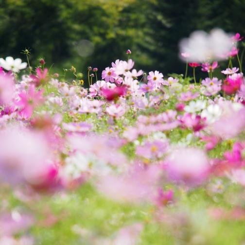 滝野すずらん丘陵公園のコスモス畑2012