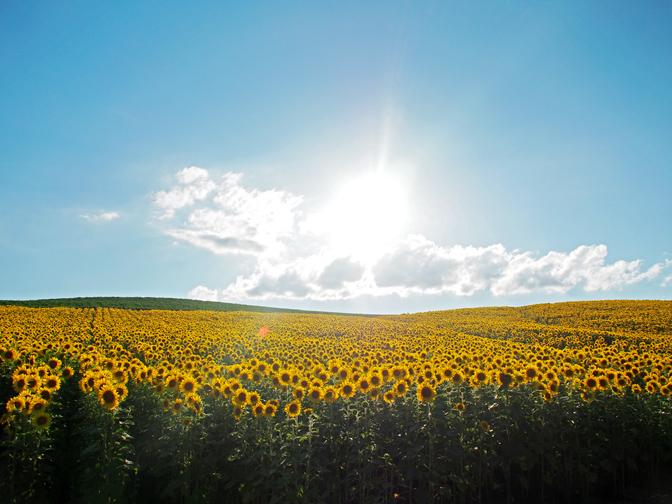美瑛の丘とひまわり畑