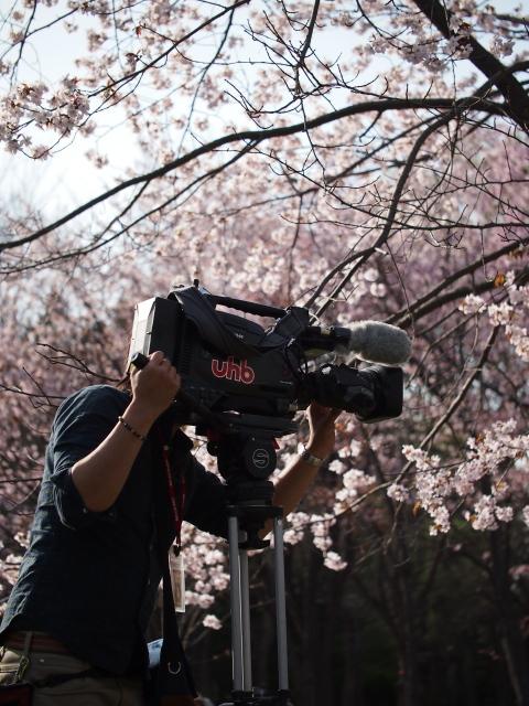 北海道神宮/円山公園の桜