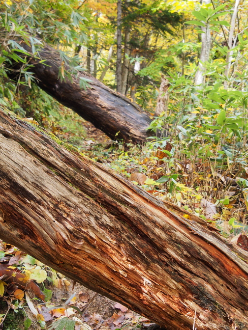 巨大な倒木