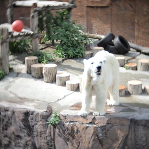 真夏の円山動物園/ホッキョクグマ
