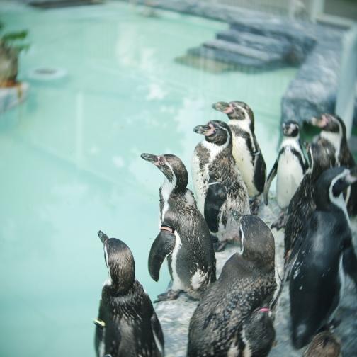 真夏の円山動物園/フンボルトペンギン