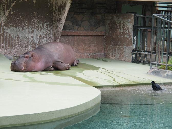 真夏の円山動物園/カバ