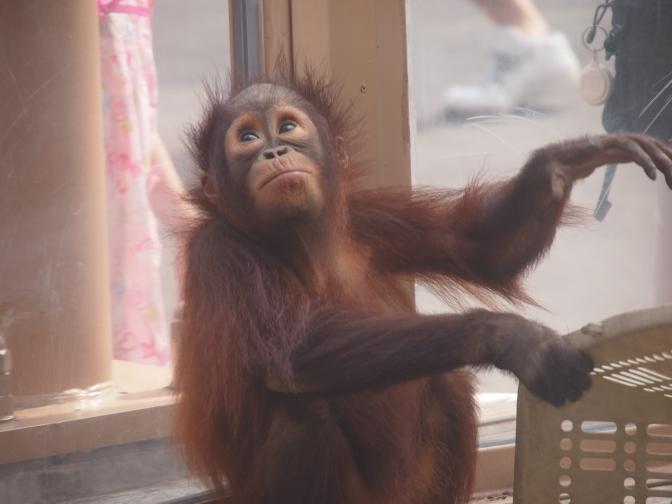 真夏の円山動物園/ボルネオオランウータン赤ちゃん
