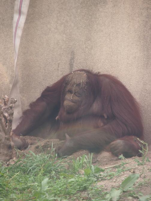 真夏の円山動物園/ボルネオオランウータン母