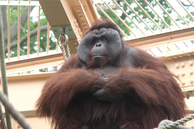 真夏の円山動物園/ボルネオオランウータン父