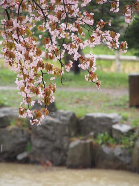 中島公園の桜
