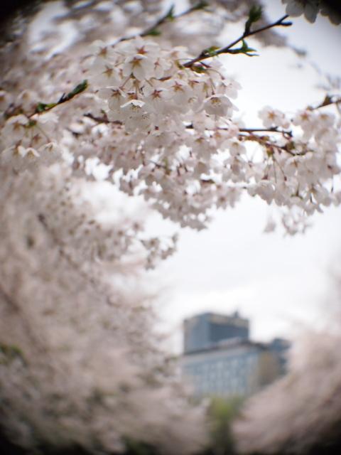 中島公園の桜と札幌パークホテル