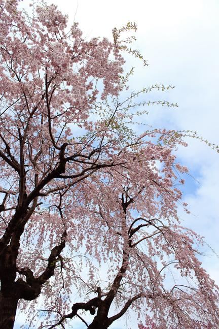 八窓庵の枝垂れ桜