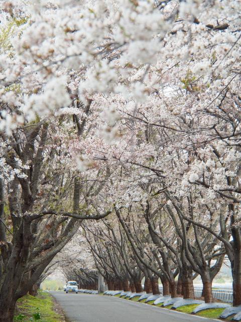 2012年の戸田記念墓地公園の桜(桜花の道)満開