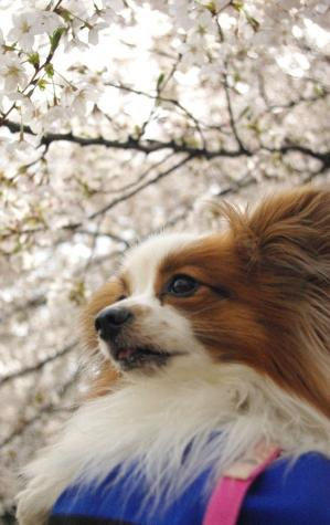 城北花見 07 2012.4.7