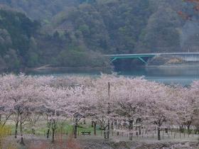宮ヶ瀬の桜