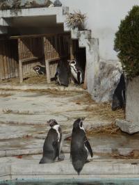 ペンギン後ろ姿