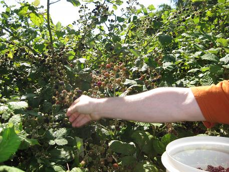 berry  picking1