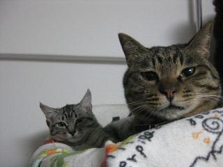 ギンガとうちの猫3