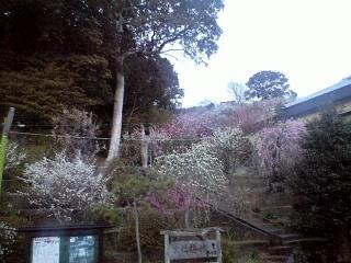 20120312大仁梅園(その2)