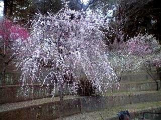20120312大仁梅園(その3)