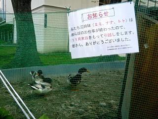 20111105合鴨(その1)