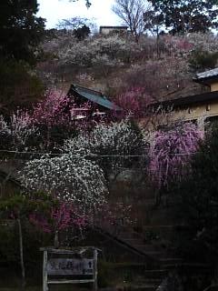 20120312大仁梅園(その6)