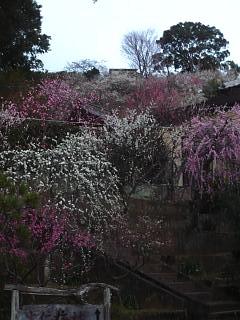 20120312大仁梅園(その7)