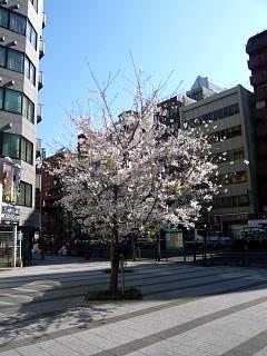 20120407芝浦の桜(その1)