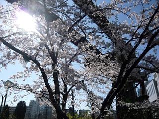 20120407芝浦の桜(その5)