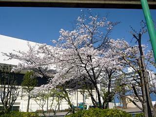 20120407芝浦の桜(その6)