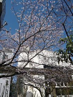 20120407芝浦の桜(その8)