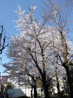 20120407芝浦の桜(その11)