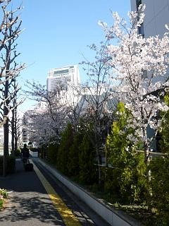 20120407芝浦の桜(その12)
