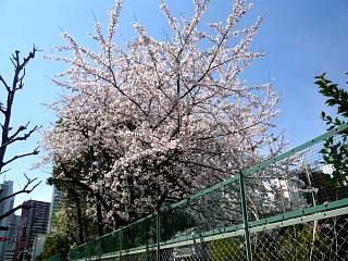 20120407芝浦の桜(その13)