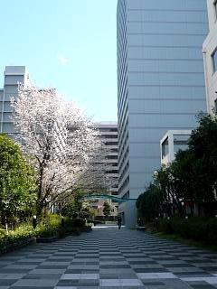 20120407芝浦の桜(その16)