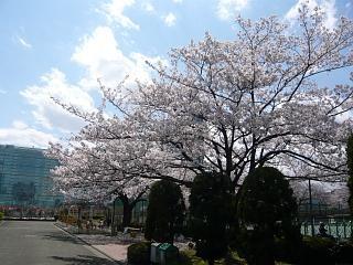 20120407芝浦中央公園の桜(その1)