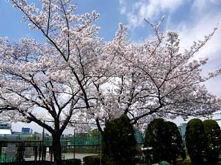 20120407芝浦中央公園の桜(その2)