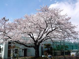 20120407芝浦中央公園の桜(その3)