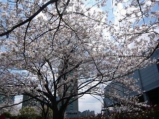 20120407芝浦中央公園の桜(その5)