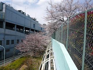 20120407芝浦中央公園の桜(その6)