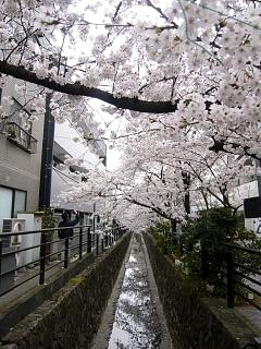 20120407二ケ領水の桜(その1)