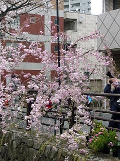 20120407二ケ領水の桜(その3)