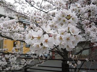 20120407二ケ領水の桜(その6)