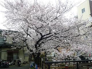 20120407二ケ領水の桜(その7)