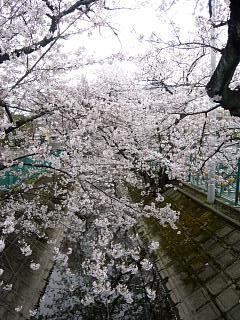 20120407二ケ領水の桜(その13)