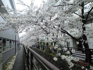 20120407二ケ領水の桜(その14)