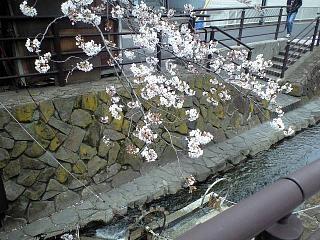 20120407二ケ領水の桜(その16)